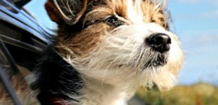 ¿Por qué los perros ladran y corren a los autos?