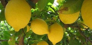 el-diario-de-tucuman-limon