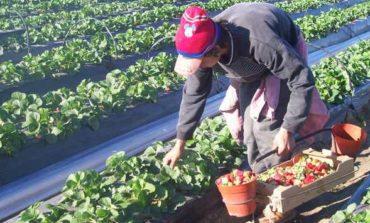 Las frutillas tucumanas ingresarán a Estados Unidos