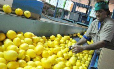 Tucumán duplicó las plantaciones de limón tras el reingreso de la fruta a EEUU