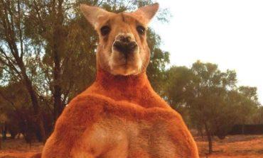 Falleció Roger, el canguro fisicoculturista