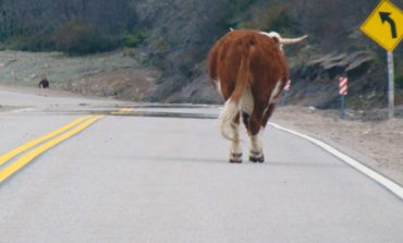 Peligro en la ruta: los animales sueltos son el tercer riesgo vial