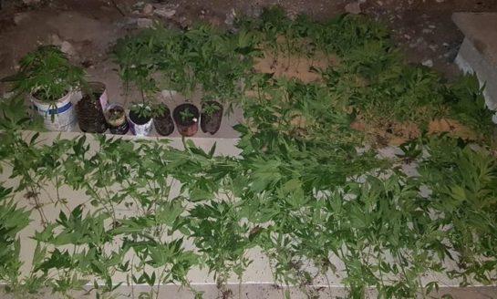 Descubren 200 plantines y más de 1000 semillas de marihuana