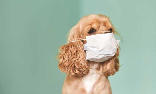 Según un estudio, los perros podrían detectar el coronavirus en humanos
