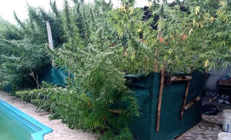 En un allanamiento secuestran más de 30 plantas de marihuana