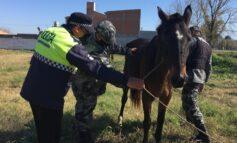 La Policía rescató 24 caballos robados en tan solo una semana